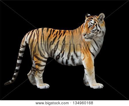 the Amur tiger close-up on a black background