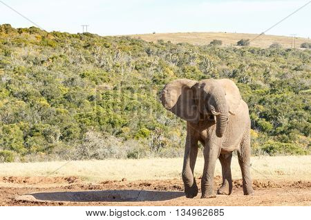 Still No Water - African Bush Elephant