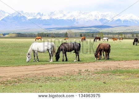 Beautiful horses on a meadow at the foot of mountains