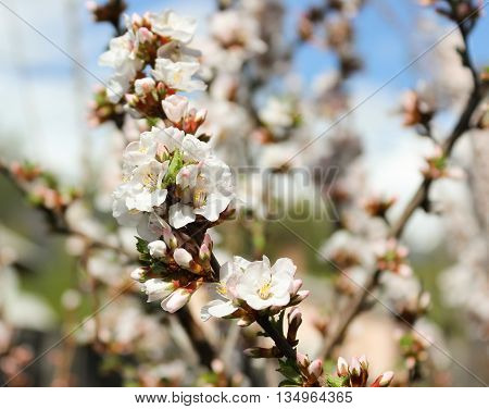 Flowers fragrant cherry in the spring garden