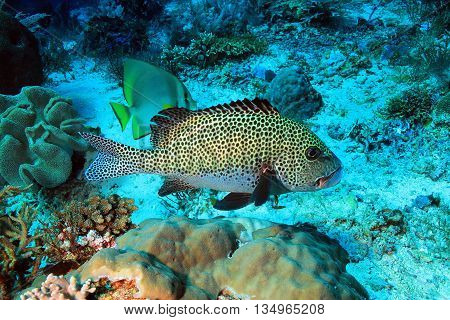 Harlequin Sweetlips (Plectorhinchus Chaetodonoides)  at Komodo Indonesia