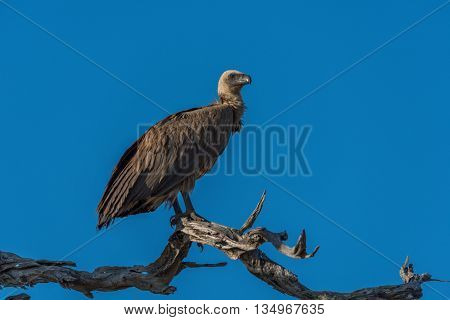 White-backed vulture on dead branch facing right