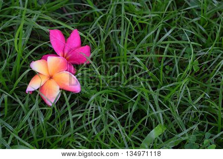 Two frangipani fallen onto a patch of grass