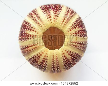 Upside down red sea urchin shell on white background