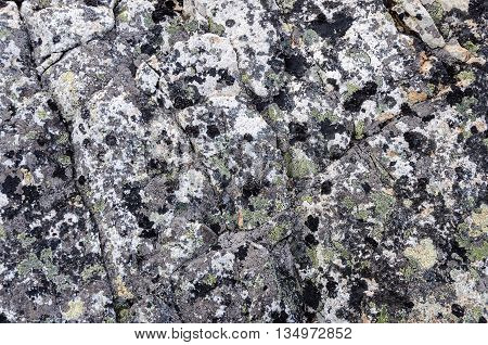 Background of gray rock with lichen in tundra