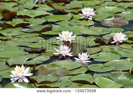a group of blooming lily pads floating on the water.
