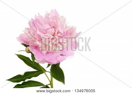 isolated peony Paeonia lactiflora on white background