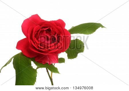 isolated red rose on a white background