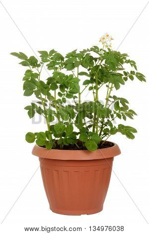 isolated russet potato plant in pot on white