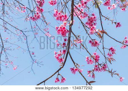 Wild Himalayan Cherry (Prunus cerasoides) Sakura of Thailand
