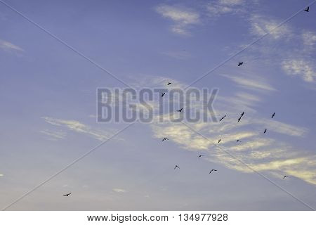 Early Morning Sky with soft clouds and soaring pigeons