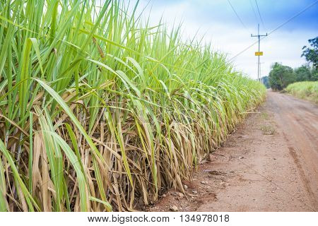 beautiful green sugarcane field with blue sky