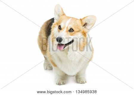 Beautiful welsh pembroke corgi dog standing over white background. Isolated. Copy space.