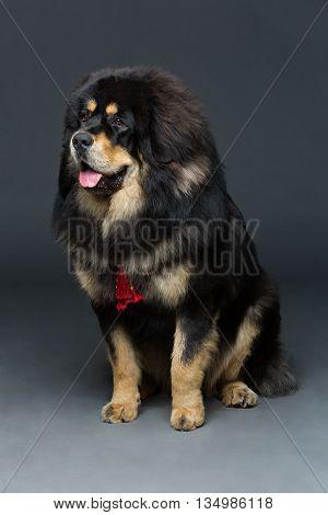 Closeup portrait of big beautiful Tibetan mastiff dog sitting over grey background. Copy space.