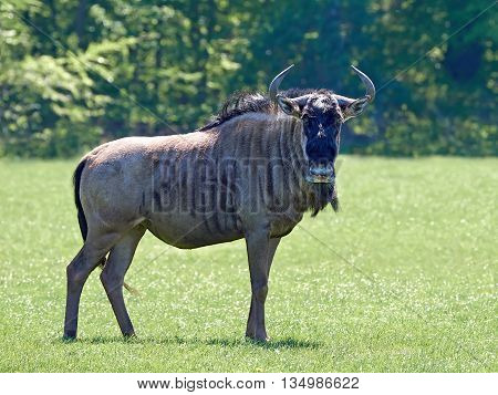 Blue wildebeest (Connochaetes taurinus) standing in grass in its habitat
