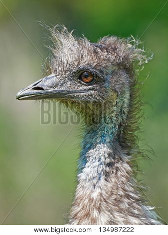 Closeup portrait of a Emu (Dromaius novaehollandiae) with vegetation in the background
