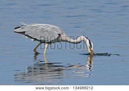 Grey heron (Ardea cinerea) fishing in its natural habitat
