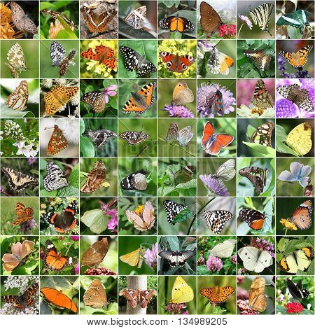 Butterfly collage  - different species from nature