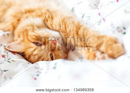Cute ginger cat lying in bed. Fluffy pet looks curiously. Cozy home background. Place for text.
