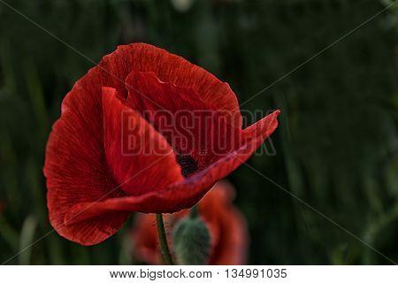 Red Beauty - a single flower of the poppy