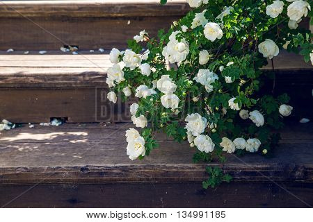 blooming white roses falling branches on a wooden stairs in the Park
