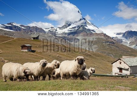 Small herd of sheep in swiss alps