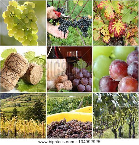 Vineyard collage - wine in autumn harvest