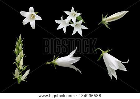 Isolated flowers and buds of white chimney bellflower (Campanula pyramidalis) on a black background