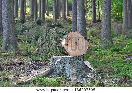 felled trees ready for transportation South Bohemia Czech Republic