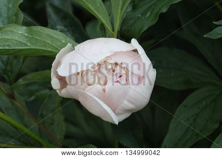Pale pink peony with drops after rain
