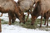 picture of musky  - elk eating hay - JPG
