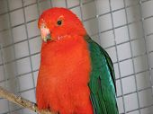 pic of king parrot  - this is a king parrot in a cage - JPG