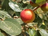 picture of crips  - red tasty apple