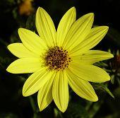 Постер, плакат: Дикие желтый цветок