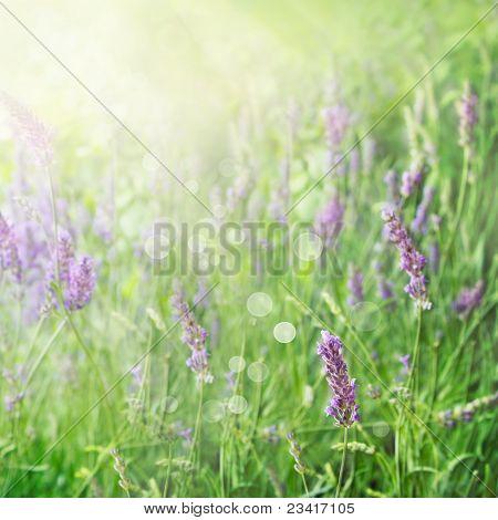 Lavender Field Background