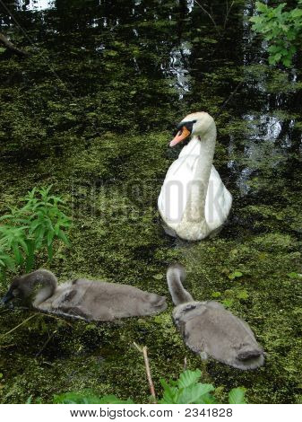 Family Of Swans#5