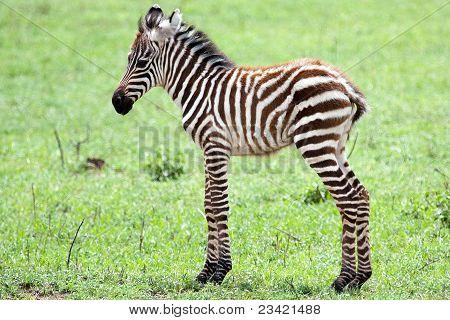 Cute baby zebra against green grass background