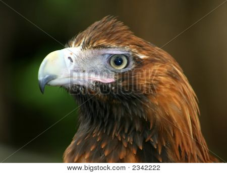 Head Of An Eagle