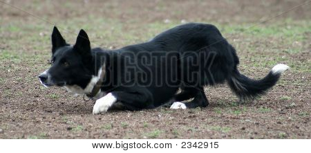 Working Cattle Dog