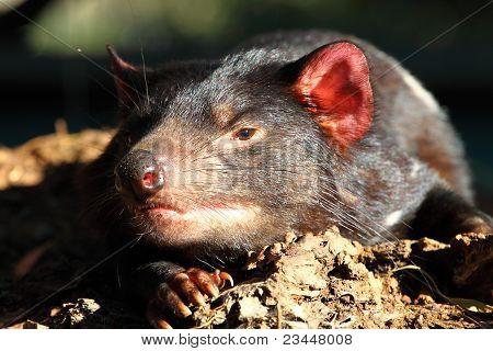 Tasmanian Devil in Australia