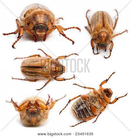 5 Sommer Chafer oder europäischen Juni Käfer, Amphimallon Solstitiale, vor weißem Hintergrund