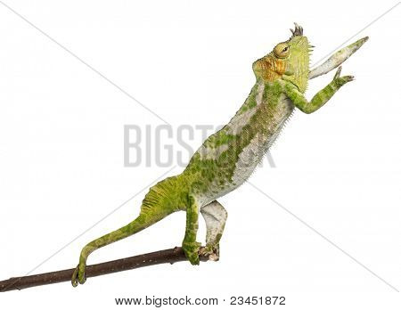 Four-horned Chameleon, Chamaeleo quadricornis, reaching up from branch in front of white background