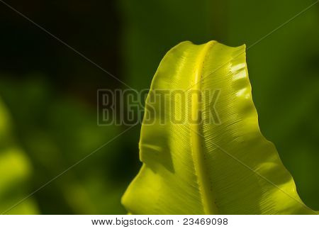 bird-nest fern