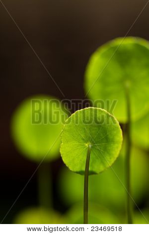 Pennywort leaves