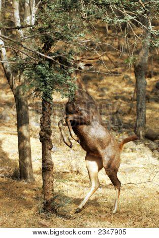 Deer feeding in Ramthambor national