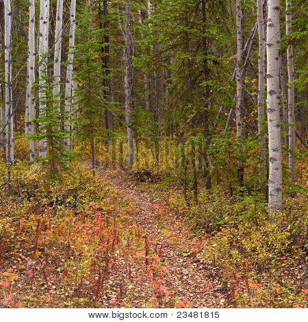 Trail in Golden Aspen Forest