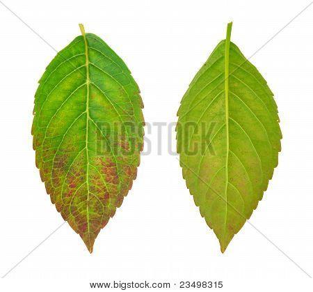 Diseased leaf of Hydrangea serrata Blue Bird