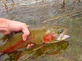 stock photo of trout fishing  - Releasing a Rainbow Trout - JPG