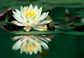 picture of water lilies  - water - JPG