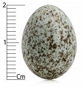 House Sparrow egg, Passer domesticus with centimeters, in front of white background
